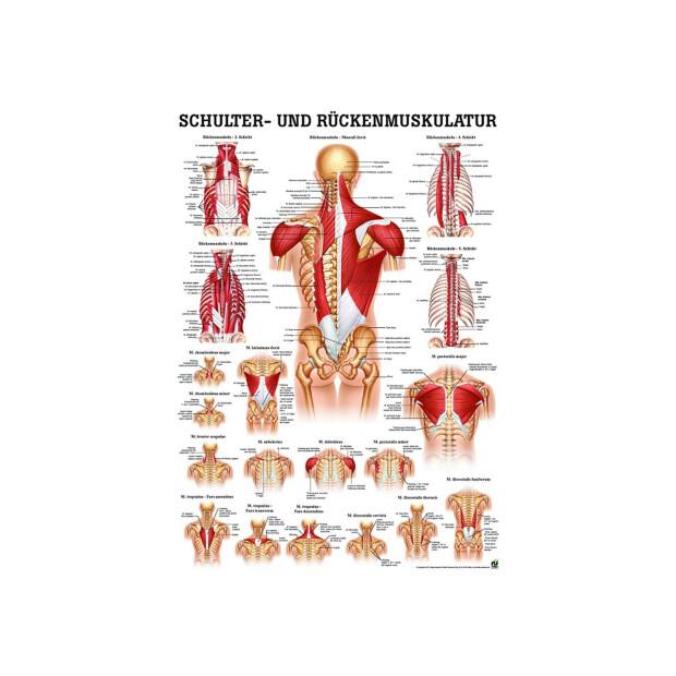 Schulter- und Rückenmuskulatur, 4,95 €