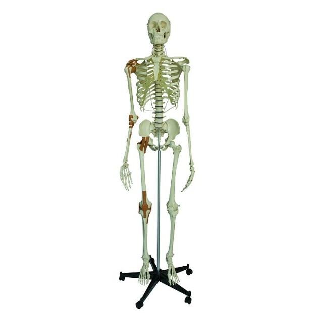 Skelett mit 4 Gelenkbändern, 609,95 €