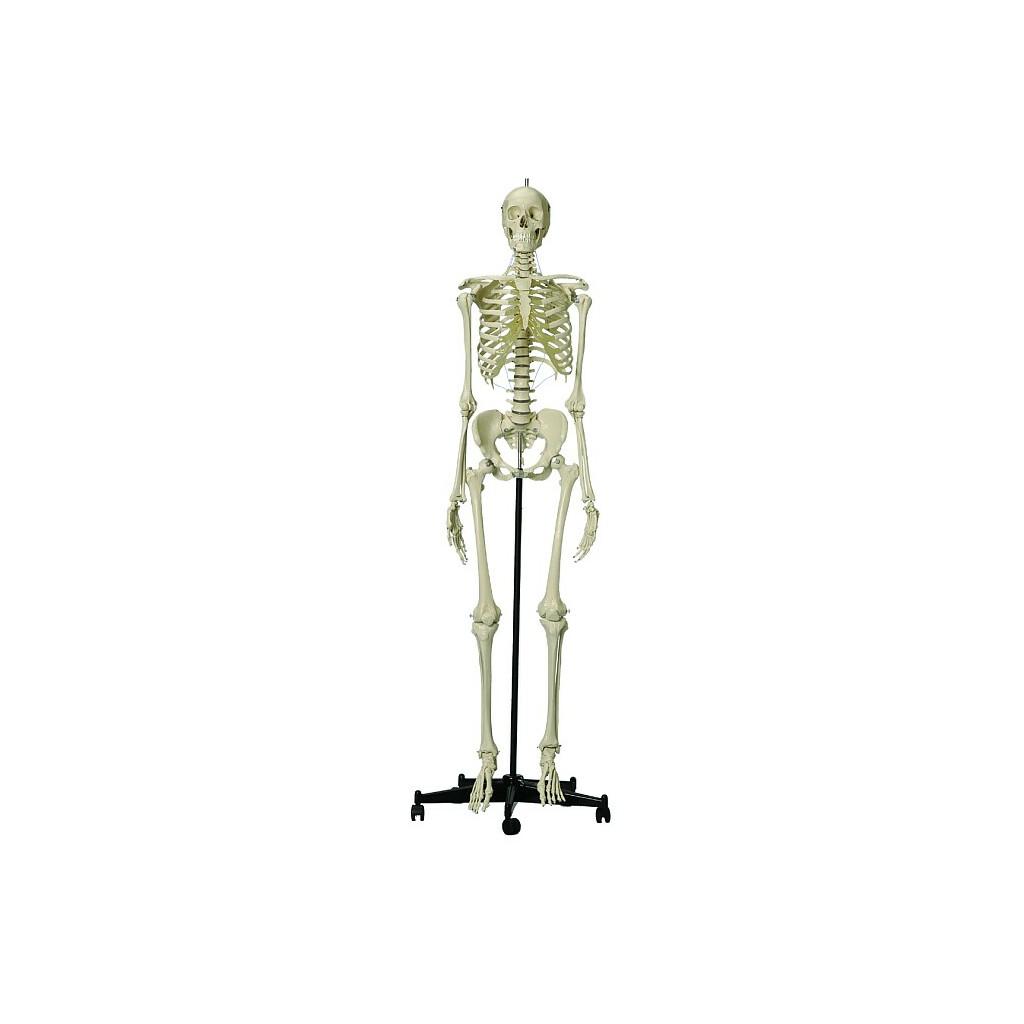 Homo-Skelett, Standard, 329,95 €